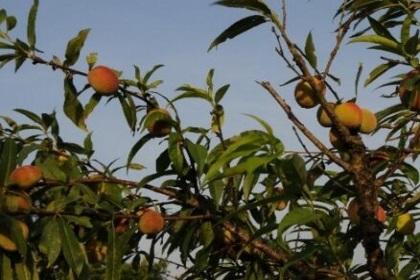枣树与桃树作文_杏树能嫁接桃树吗_桃树和枣树嫁接方法